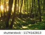 beech forest. beech is a... | Shutterstock . vector #1174162813