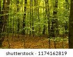 beech forest. beech is a... | Shutterstock . vector #1174162819