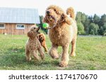 toy and standard poodle are...   Shutterstock . vector #1174170670