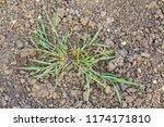 Crabgrass Weed Still Grows In...
