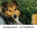 red dog looks into camera and lies on the grass