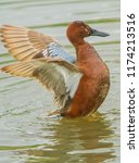 a cinimon teal with wings... | Shutterstock . vector #1174213516