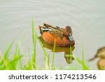 a cinimon teal swimming in a... | Shutterstock . vector #1174213546