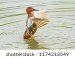 a cinimon teal with wings... | Shutterstock . vector #1174213549