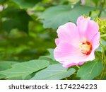 pink cotton rose flower | Shutterstock . vector #1174224223