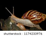 snail's life in nature crawling ... | Shutterstock . vector #1174233976