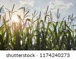 Cornfield In Late Summer  Amish ...