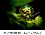 colourful baby bugs chrysocoris ... | Shutterstock . vector #1174249336