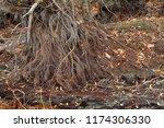 root of weeping willow in...   Shutterstock . vector #1174306330