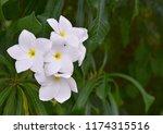 plumeria pudica jacq on tree in ... | Shutterstock . vector #1174315516