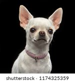 Chihuahua Dog  Isolated  On...