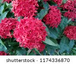 beauty red ixora on blur... | Shutterstock . vector #1174336870