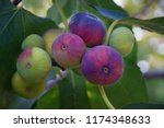 branch of  fig tree with... | Shutterstock . vector #1174348633