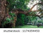 beautiful old tree in green...   Shutterstock . vector #1174354453