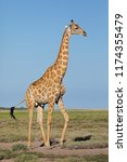 a giraffe  giraffa... | Shutterstock . vector #1174355479