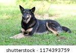 dog lying on the grass | Shutterstock . vector #1174393759
