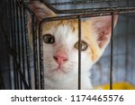 Stock photo homeless animals orphaned baby kitten innocent and sadness eyes cat looking out from behind the 1174465576