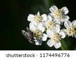 big blowfly  nasty fly  on snow ... | Shutterstock . vector #1174496776