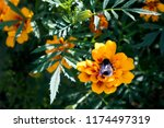 cute thick bumble bee gathering ... | Shutterstock . vector #1174497319