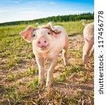 A Baby Pig On A Pigfarm In...