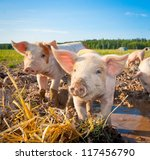 Two piglets standing on a field ...