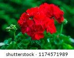 Red Pelargonium In The Garden....