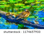 mallard duck female small...   Shutterstock . vector #1174657933