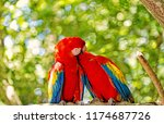 ara macaw parrot. cute pair of... | Shutterstock . vector #1174687726