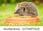 hedgehog  wild  native european ... | Shutterstock . vector #1174697623