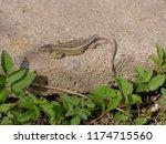 lizard lying on the concrete is ... | Shutterstock . vector #1174715560