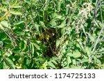 acrocephalus dumetorum. nest... | Shutterstock . vector #1174725133