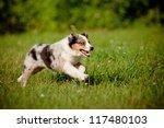 Stock photo australian shepherd puppy running 117480103