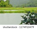 fresh green plants beside the... | Shutterstock . vector #1174910479