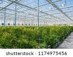 large industrial greenhouse... | Shutterstock . vector #1174975456