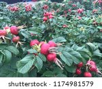red rosehips are ready to bloom | Shutterstock . vector #1174981579