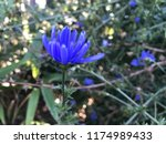 cichorium intybus the same... | Shutterstock . vector #1174989433