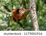 Red Panda Sleeps In A Tree
