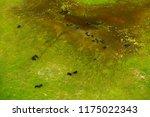 buffalo in aerial landscape in...   Shutterstock . vector #1175022343