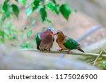 common emerald dove  asian... | Shutterstock . vector #1175026900