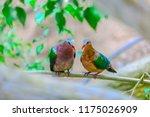 common emerald dove  asian... | Shutterstock . vector #1175026909