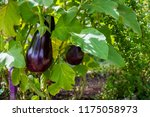 australain home grown eggplant | Shutterstock . vector #1175058973