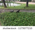 pigeon near water in park | Shutterstock . vector #1175077210