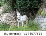 a white donkey who walked on a... | Shutterstock . vector #1175077516