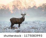 young red deer buck standing in ... | Shutterstock . vector #1175083993