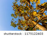 the branches of tree stand... | Shutterstock . vector #1175122603