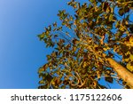 the branches of tree stand... | Shutterstock . vector #1175122606