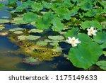 south korea summer pond lotus | Shutterstock . vector #1175149633