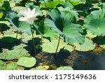 south korea summer pond lotus | Shutterstock . vector #1175149636