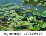 south korea summer pond lotus | Shutterstock . vector #1175149639