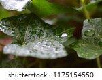 macro photo of an green english ... | Shutterstock . vector #1175154550